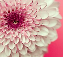 Pink & White Chrysanthemum by Wendy Kennedy