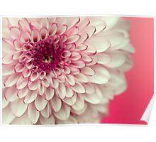 Pink & White Chrysanthemum Poster