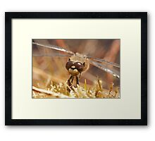 Did I forget to shave again? (Four spotted chaser) Framed Print