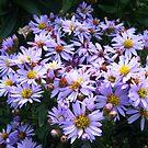 Lilac Dasies! by Connie  Danaher