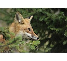 Backyard Fox Photographic Print