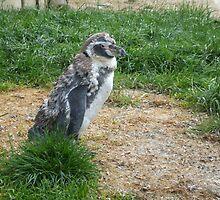 penguin  by fhcphotos
