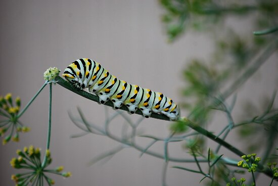 Swallowtail Caterpillar in Kansas by Suz Garten