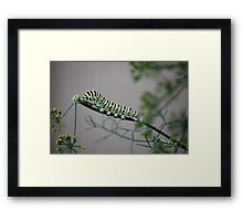 Swallowtail Caterpillar in Kansas Framed Print