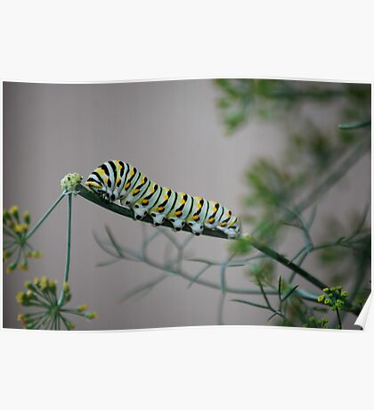 Swallowtail Caterpillar in Kansas Poster