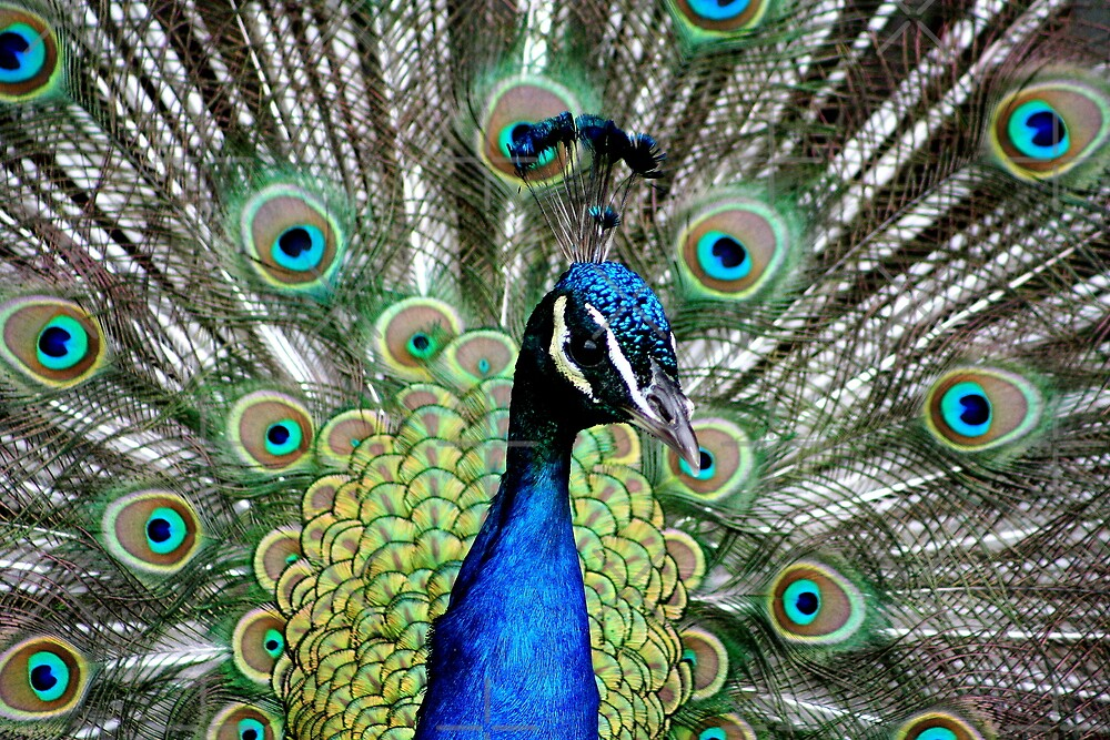 Peacock by mikrin