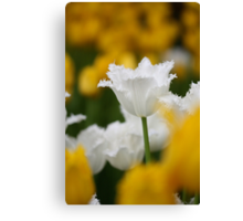 White fringed tulip among yellow tulips Canvas Print