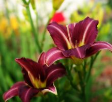 Cranberry Colored Day Lilies by kkphoto1