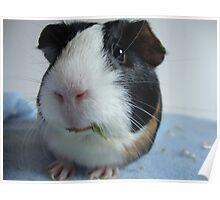Oreo The Guinea Pig Poster