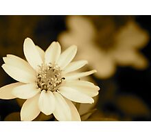 Showy Dwarf Zinnia Photographic Print
