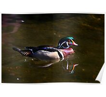 Wood Duck Reflected Poster