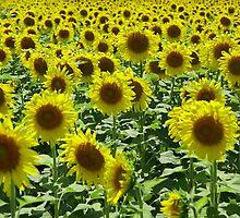 Field Full of Sunshine by JohnDSmith