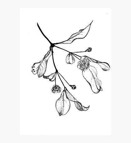 Blossoms (Austromyrtus) Photographic Print