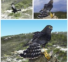 BLACK HARRIER (Circus maurus) HOW IT WAS DONE (ONLY THE TOP PICS ARE  PHOTOS!!!) by DilettantO