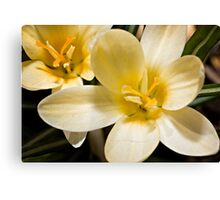 First Blooms (Crocus) Canvas Print