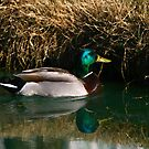 Mallard at Trinity Lakes by Lisa G. Putman