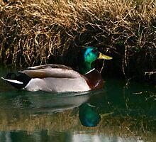 Mallard at Trinity Lakes by Lisa G. Putman