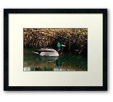 Mallard at Trinity Lakes Framed Print