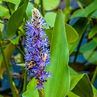 Bee on Pickerelweed by Rebecca Bryson