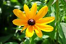 Brown-Eyed Susan by MarjorieB