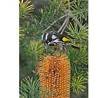 New Holland Honeyeater Photographic Print