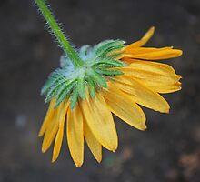 Dangling Daisy by Corri Gryting Gutzman