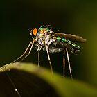 Dolichopodid Fly by Jason Asher