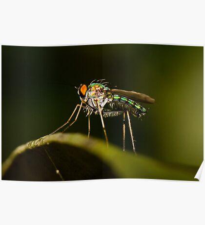 Dolichopodid Fly Poster