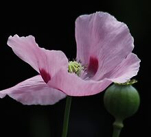Pink Poppy and Pod by AnnDixon