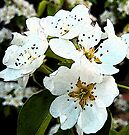 Pear blossom (painterly effect) by buttonpresser