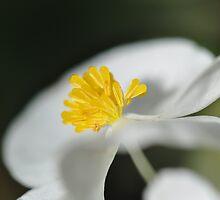 Yellow Fingers In A White Fan by MissyD