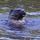 Otter at Bosherston by Meurig Davies