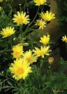 Fence with Golden Marguerites by RC deWinter