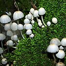Parasol Party (Coprinus family) - Morwell National Park by Bev Pascoe