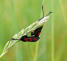 Burnet Moths by Marilyn O'Loughlin