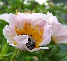 Wild Rose and Bee by HELUA