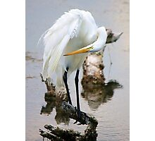 Great White Egret - Looking Photographic Print