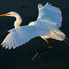 Great White Egret by Paulette1021