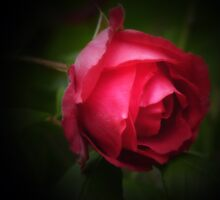 Single red rose by © Pauline Wherrell