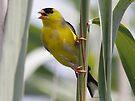 American Goldfinch by Dennis Cheeseman