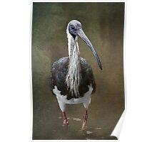 Threskiornis spinicollis  Poster