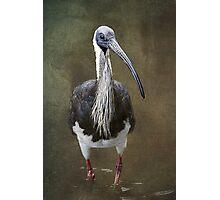 Threskiornis spinicollis  Photographic Print