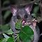 Little Aussie....Ringtail Possum. by Julie  White