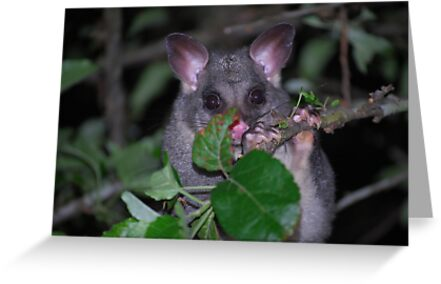 Little Aussie....Ringtail Possum. by Julie  White