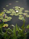 Lily Pads by Aaron Campbell