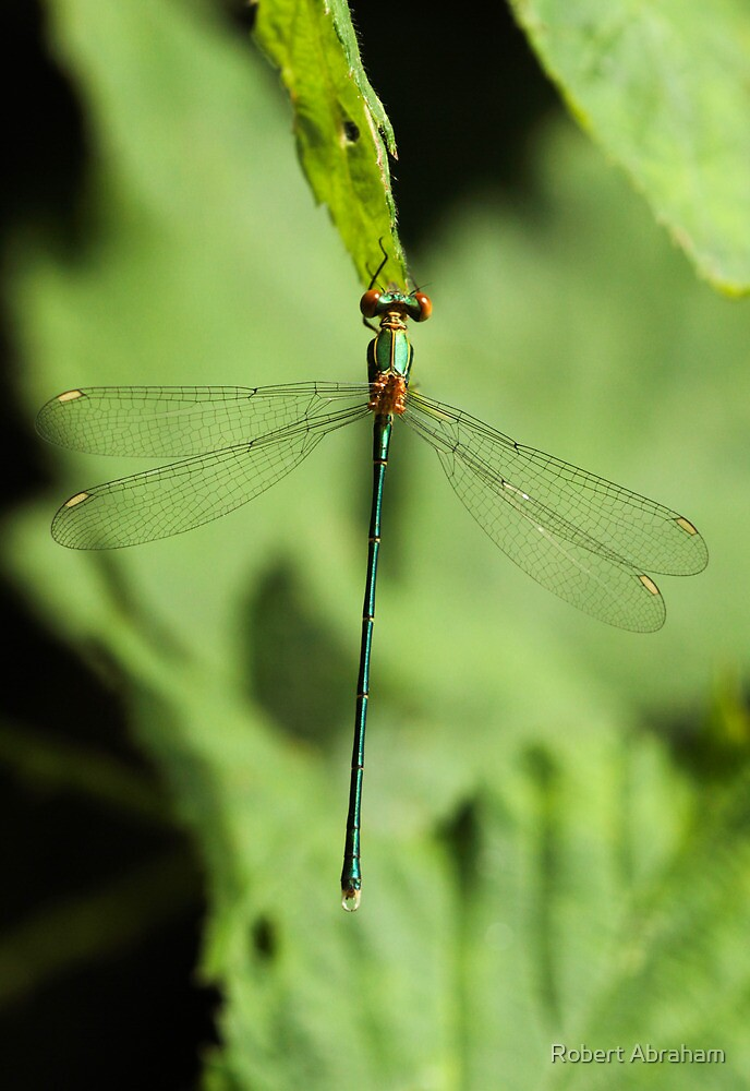 Male Willow Emerald by Robert Abraham