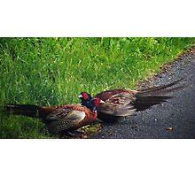 Phighting Pheasants Photographic Print