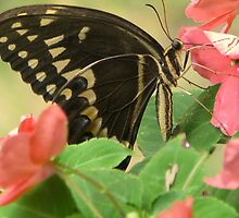 Swallowtail by DottieDees