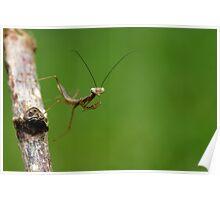 just hatched jade mantis Poster