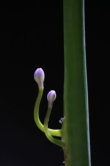 Purple Agapanthus buds 6724 by João Castro